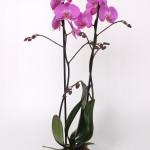 Las Palmas Phalaenopsis 12cm