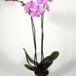 "12cm pot 2 stem Phalaenopsis ""Luxor"""