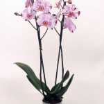 Magic art Phalaenopsis 12cm