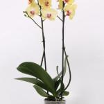 Miraflore Phalaenopsis 12cm