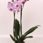 """12cm pot 2 stem Phalaenopsis """"Sacramento"""""""