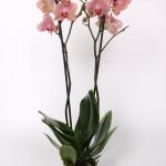 Pirate Picotee Phalaenopsis 12cm