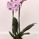 Sacramento phalaenopsis 12cm