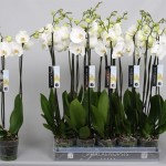 "12cm 2 stem Phalaenopsis ""White world"""