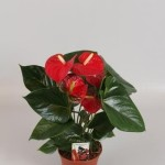 14cm pot Red Anthurium