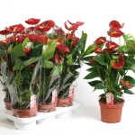 17cm pot Red Anthurium