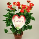 21cm pot Red Anthurium