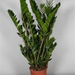 Zamioculcas in 23cm pot standing 90cm tall