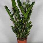 Zamioculcas in 23cm pot standing 90cm tall