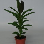 12cm pot Cordyline Glauca available in trays of 10