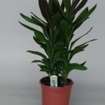 Cordyline Glauca 21cm pot, 60cm tall.