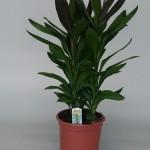 Cordyline Glauca 21cm pot, 60cm tall.