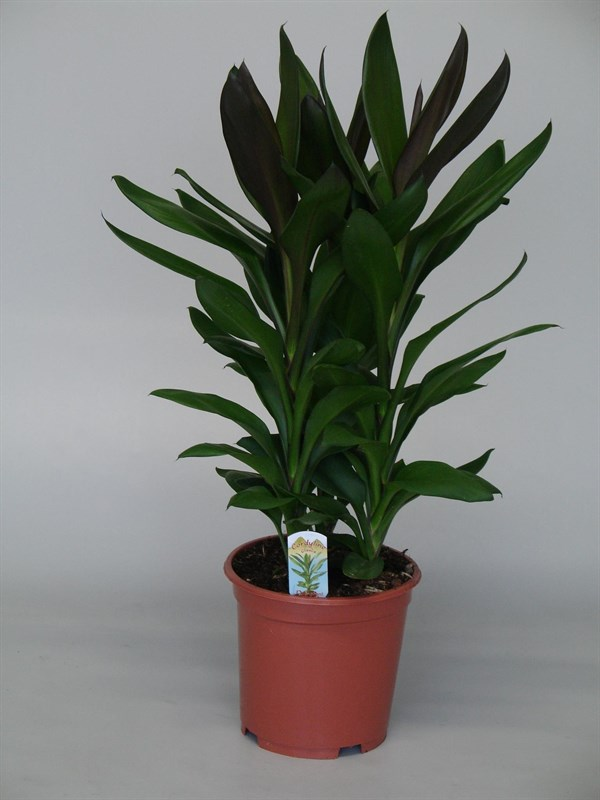 Arnott Mason Plant Groups House Plants Tropical Plants