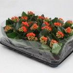 1x16 6cm pot Orange Kalanchoe