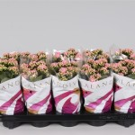 1x10 Pink 10.5cm double flowering Kalanchoe