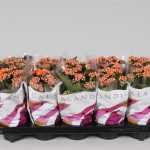 1x10 orange 10.5cm double flowering Kalanchoe