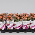1x10 orange 10.5cm double flowering Kalanchoe