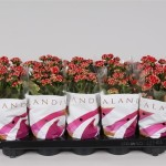 1x10 Red 10.5cm double flowering Kalanchoe