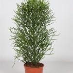 Euphorbia tirucalli